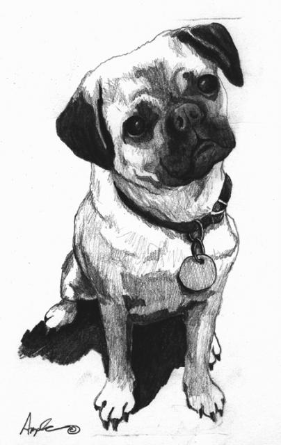 Little Pug - original pencil sketch