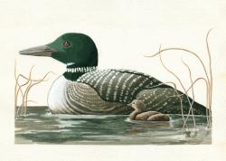 Canadian Loons - realistic animal portrait