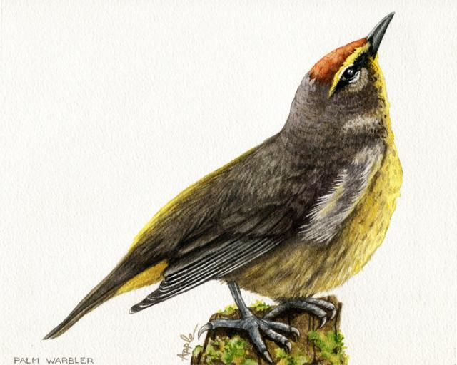 Palm Warbler original watercolor bird art