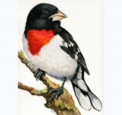 Red-breasted Grosbeak bird portrait