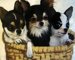 Tres Amigos Chihuahua dog animal portrait